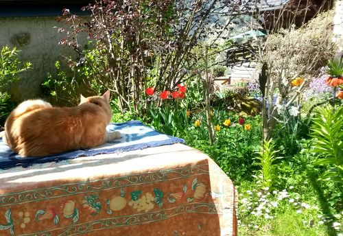 042615_tulips